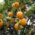 Sell Citrus Aurantium Extract Powder