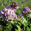 Sell Alfalfa Extract Powder