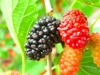 Mulberry Fruit PE