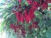 Schisandra Chinensis PE 5% UV