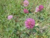 Clover tops red extract solid --(Trifolium pratense L.)--08
