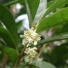 Osmanthus Essential oils