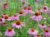 Echinacea P. E/Polyphenols/Echinacea Purpure/ Echinacea Purpurea extract/Cichoric acid