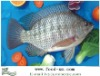 Chinese Fresh whole tilapia fish farming