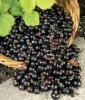 Black currant Extract (Ribes nigrum L.) Proanthocyanidins 5%-80%/ Anthocyanidins 5%-25% UV/HPLC