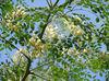 Organic Moringa Oleifera leaf extract powder