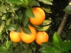 navel Orange (chinese orange)