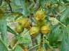 Walnut Oil for Body Health, Youth