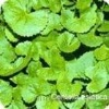 Asian centella extract