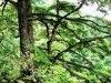 Pine Bark Extract  Proanthocyanidins95%
