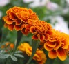 Zeaxanthin 10%,40%,50% Marigold Extract