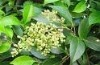 Ursolicacid(Eriobotrya japonica Lindl)Ursolic acid 25%-95% UV/HPLC