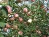 2012 Fuji red apple