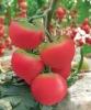 Hybrid tomato seeds LvBeiLei