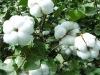 xiao pang dun cotton fertilizer plant growth regulator