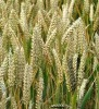 pure wheat germ oil