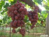 Fresh Red Globe Grapes