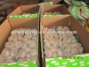 fresh white garlic exporters