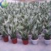 scientific name of plants (sansevieria laurentii)