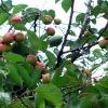 25kg Almond Oil Sweet, (Prunus amygdalus), Sweet Almond Oil, CAS 8007-69-0