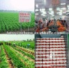 chinese big fresh vegetable exporter