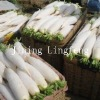 high quality white radish in new crop