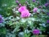 Trifolium pratense extract
