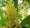 Natural othmanthus fragrance,osmanthus fragrans pure oil