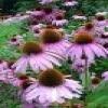 Echinacea Purpurea plant extract