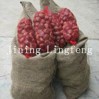 2012 crop Chestnut on sale