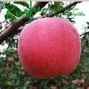 2012 new China famous brand Fresh red fuji apple