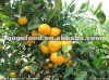 Famous fruit mandarin orange