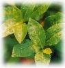 Green tea Extract Polyphenols 99% Caffeine 0.5%