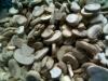 Hot selling frozen white button mushroom