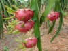 Taiwan fresh red dragon fruit