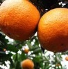 mandarin orange supplier from China