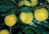 yellow peach Flavour