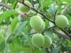 plum Flavour