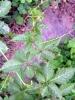 Gynostemma pentaphyllum P. E /Gynostemma pentaphllum (Thunb. )Mak/CAS NO:80321-63-7/jiaogulan