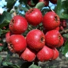 Hawthorn Berry P.E.