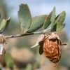 25kg Jojoba Oil Golden (Simmondsia chinensis), CAS 61789-91-1, EINECS289-964-3