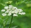 osthole--cnidium monnieri plant extract 20%