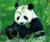 lifelike 100% China 3d picture of panda