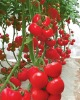 Heat Resistant Tomato Seeds - ZhongYan Hong NO.1