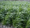 Debang newly wide blade forage grass seed,ryegrass seed