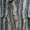 Pine Bark P.E.