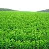Healthy Sweetner/Stevia/Stevia Extract/Stevioside/High Rebaudioside 40-99%