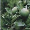 Citrus aurantium P.E