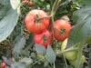 Chinese fresh red tomato