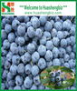 2012 new crop IQF wild blueberries